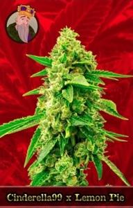 Cinderella 99 X Lemon Pie Marijuana Seeds