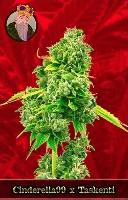 Cinderella 99 X Taskenti Marijuana Seeds