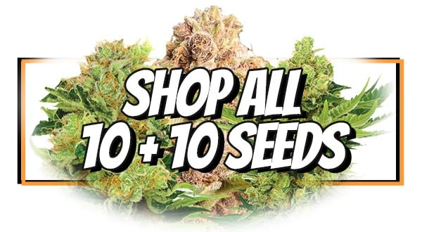 Early Bird Buy 10 Get 10 Free Marijuana Seeds Offer