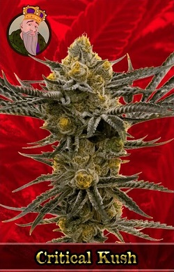 Critical Kush Marijuana Seeds