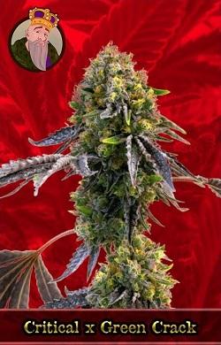 Critical X Green Crack Marijuana Seeds