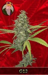 G13 Marijuana Seeds