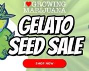 Gelato Cannabis Seeds Sale