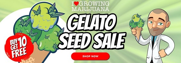 Gelato Cannabis Seeds Sale