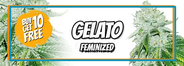 Gelato Feminized Cannabis Seeds