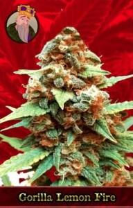 Gorilla Lemon Fire Marijuana Seeds