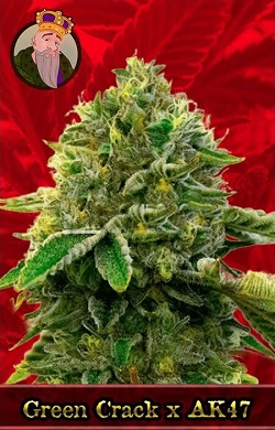 Green Crack X AK 47 Marijuana Seeds