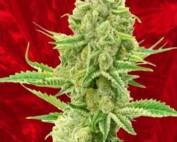 Kosher Kush x Tangerine Marijuana Seeds