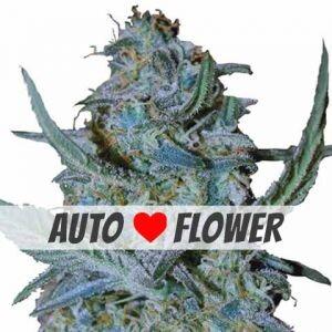 Blue Cheese Autoflowering Seeds