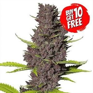 Blue Dream Feminized Seeds 420 Sale