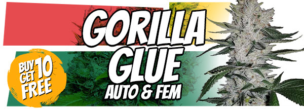 Gorilla Glue Seeds 420 Offer