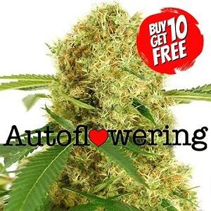 White Widow Autoflower Seeds 420 Sale