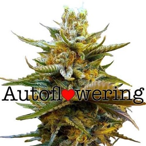 G13 Autoflowering Seeds