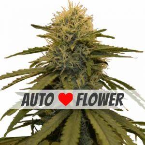 LSD Autoflowering Seeds