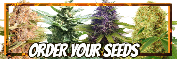 Order Your Easy To Grow Cannabis Seeds