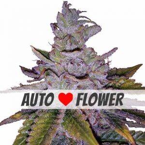 Purple Kush Autoflowering Seeds