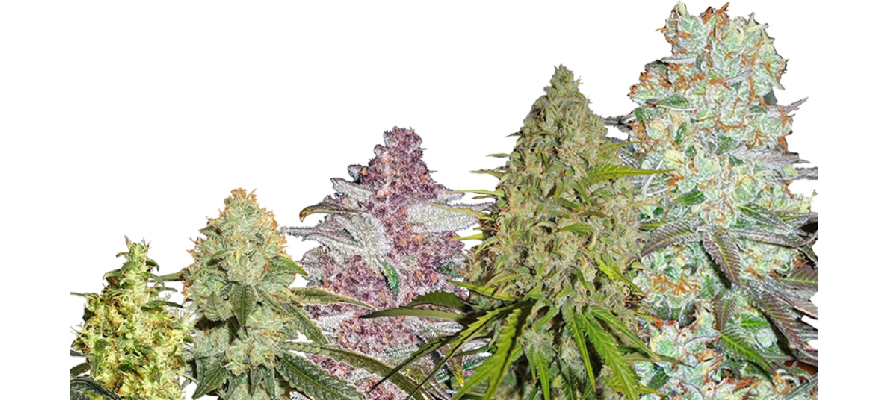 Top 5 High THC Autoflower Seeds