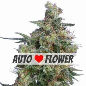 Bubba Kush Autoflowering Seeds