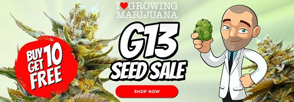 G13 Cannabis Seeds Sale