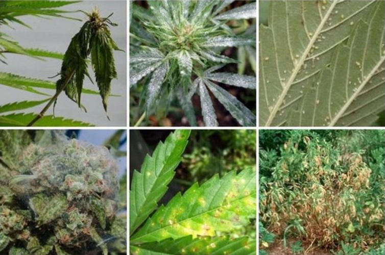 Problems When Growing Cannabis