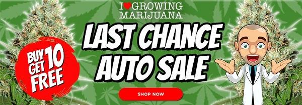 Buy 10 Autoflowering Seeds Get 10 Seeds For Free