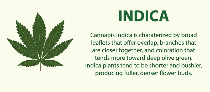 Indica Feminized Cannabis Seeds