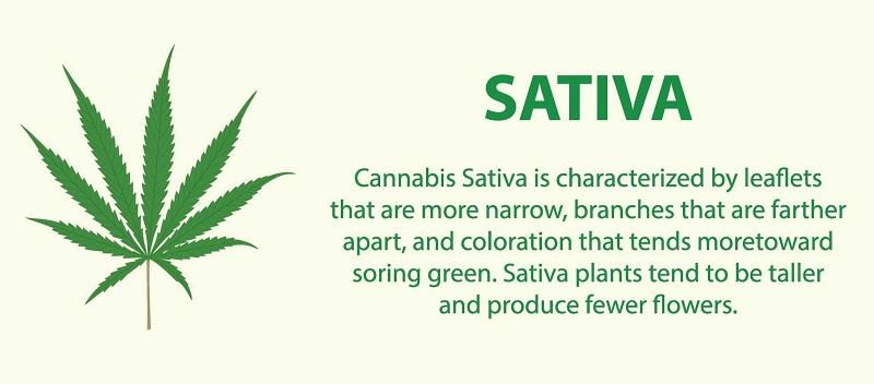 Sativa Feminized Cannabis Seeds
