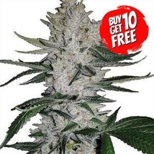Gorilla Glue Feminized - Buy 10 Get 10 Free Seeds