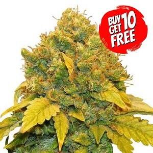Banana Kush Feminized - Buy 10 Get 10 Free Seeds